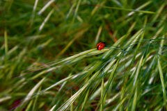 Mariquita en hierba verde foto de archivo