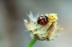 Mariquita en la flor Fotografía de archivo libre de regalías