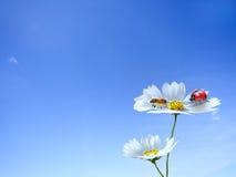 Mariquita en la flor Imagenes de archivo