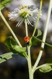 Mariquita en la flor de la manzanilla Imagenes de archivo