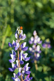Mariquita en la flor del Lupine Foto de archivo libre de regalías