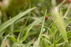Mariquita en la hierba Fotografía de archivo libre de regalías