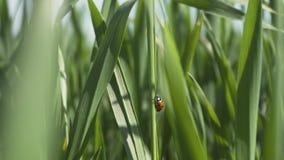 Mariquita en la hoja verde del trigo metrajes