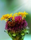 Mariquita en las flores imágenes de archivo libres de regalías