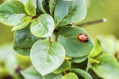 Mariquita en las hojas mojadas de la lila Imagenes de archivo