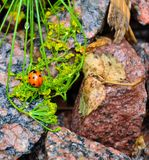 Mariquita en las piedras Fotografía de archivo libre de regalías