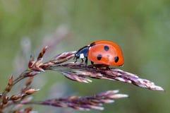 Mariquita en macro de la espiguilla de la hierba Fotos de archivo