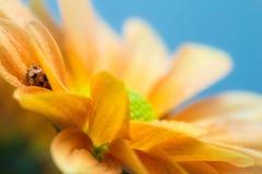 Mariquita en margarita amarilla Imagen de archivo