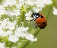 Mariquita en polen Fotografía de archivo libre de regalías