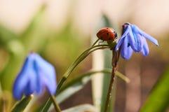 Mariquita en una flor azul Imagen de archivo