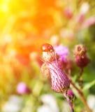 Mariquita en una flor del cardo en verano Foto de archivo libre de regalías