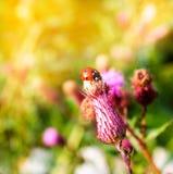 Mariquita en una flor del cardo en verano Imagenes de archivo