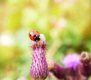 Mariquita en una flor del cardo en verano Fotos de archivo