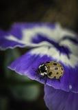 Mariquita en una flor púrpura Imágenes de archivo libres de regalías