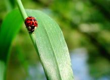Mariquita en una hierba verde Foto de archivo libre de regalías