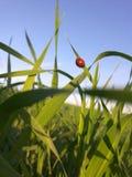 Mariquita en una hoja de la hierba en el campo imagen de archivo libre de regalías