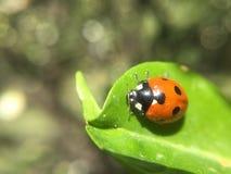 Mariquita en una hoja verde Foto de archivo libre de regalías