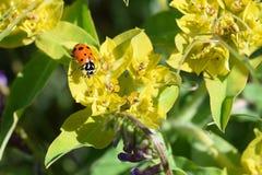 Mariquita en Wildflower Imagen de archivo