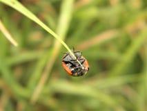 Mariquita macra de la fotografía de los insectos de la naturaleza Foto de archivo