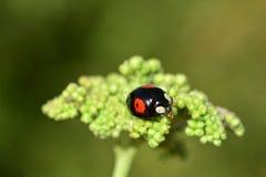 Mariquita negra en la planta verde en naturaleza Foto de archivo libre de regalías