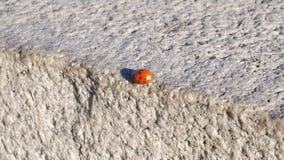 Mariquita que camina en el parapeto de piedra almacen de metraje de vídeo