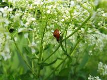 Mariquita que corre adelante en hierba verde Foto de archivo libre de regalías