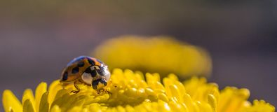 Mariquita que descansa sobre un crisantemo amarillo imágenes de archivo libres de regalías