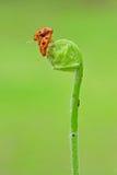 Acoplamiento del insecto de la señora Imagen de archivo libre de regalías