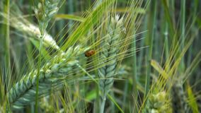 Mariquita que se arrastra en los oídos del trigo que se sacude en el viento en un día de verano en el campo almacen de video