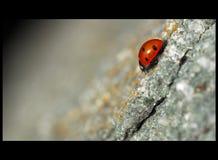 Mariquita que se arrastra en una superficie de la roca Fotos de archivo libres de regalías