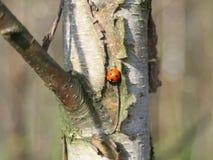 Mariquita roja que se sienta en un tronco del abedul imagen de archivo