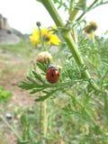 Mariquita roja que sube en los brotes de flor Imagenes de archivo