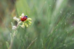 Mariquita y flor amarilla foto de archivo libre de regalías
