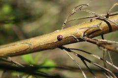 Mariquita y hormiga Fotografía de archivo