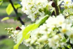 Mariquitas en las flores del cerezo del pájaro Foto de archivo libre de regalías