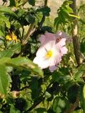 Mariquitas en una flor Imagen de archivo