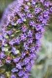Mariquitas o Coccinellidae en el orgullo de Madeira en primavera Fotografía de archivo