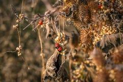Mariquitas que se acoplan, arbusto seco de la espina en el fondo Imagen de archivo