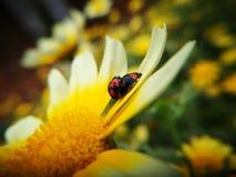 Mariquitas que se acoplan en el pedal de la flor Imagen de archivo libre de regalías