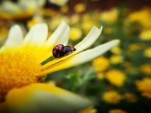 Mariquitas que se acoplan en el pedal de la flor Foto de archivo libre de regalías