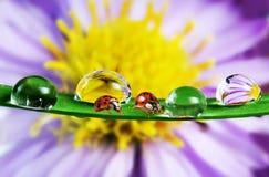 Mariquitas y flor Imagen de archivo libre de regalías