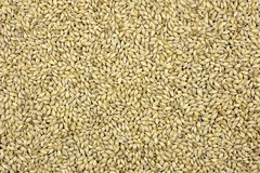 Maris Otter whole grain pale malt. Maris Otter two row malted brewing barley grains, pale malt used in traditional British ales and all grain beers Stock Photography