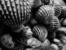 Mariscos del berberecho en blanco y negro Imagenes de archivo