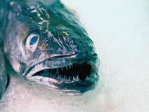 Mariscos frescos - vista cercana de la cabeza de la merluza Foto de archivo libre de regalías