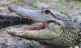 Marismas de los cocodrilos de la Florida Aligators imágenes de archivo libres de regalías