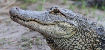 Marismas de los cocodrilos de la Florida Aligators foto de archivo