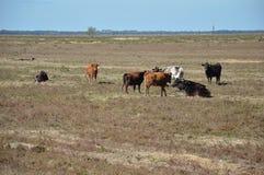 Marismeñas cows. Marismeñas cows in the marsh bonanza Stock Photography