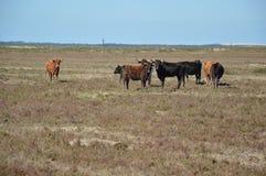 Marismeñas cows. Marismeñas cows in the marsh bonanza Royalty Free Stock Photo