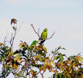 Maritaca. Is a popular term to refer to the various species of birds in the family of parrots Royalty Free Stock Images