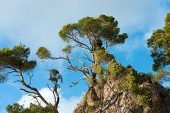 Maritieme die Pijnbomen door Onweer worden beschadigd - Italië stock afbeelding
